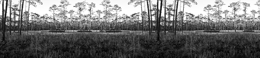 Ochlockonee pines