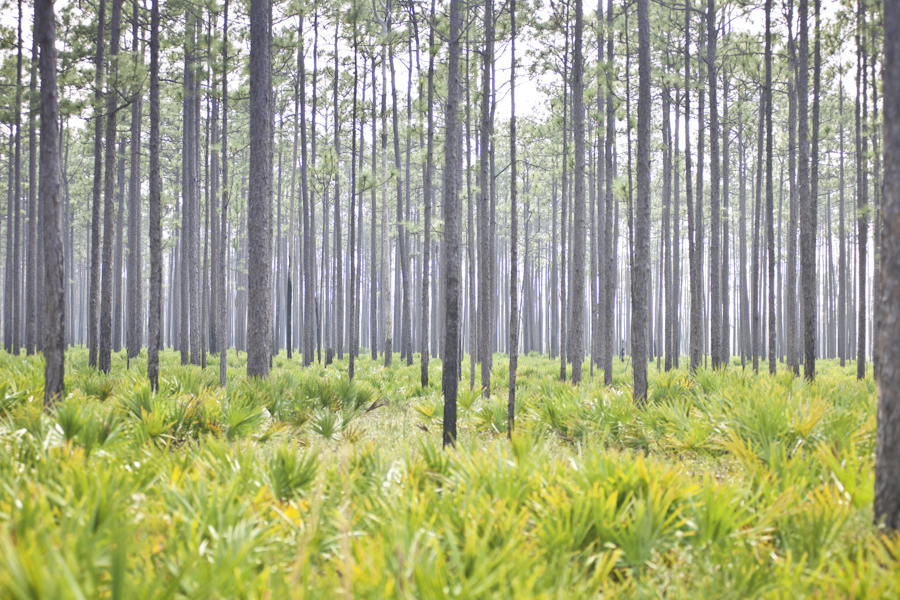 Ochlockonee Pines and Palmeto
