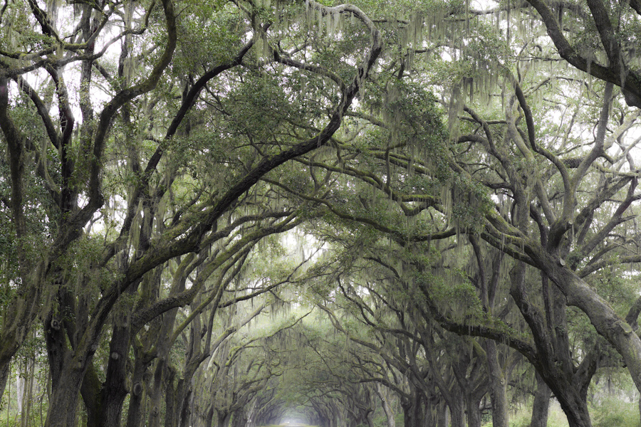 Wormsloe Oak Alley