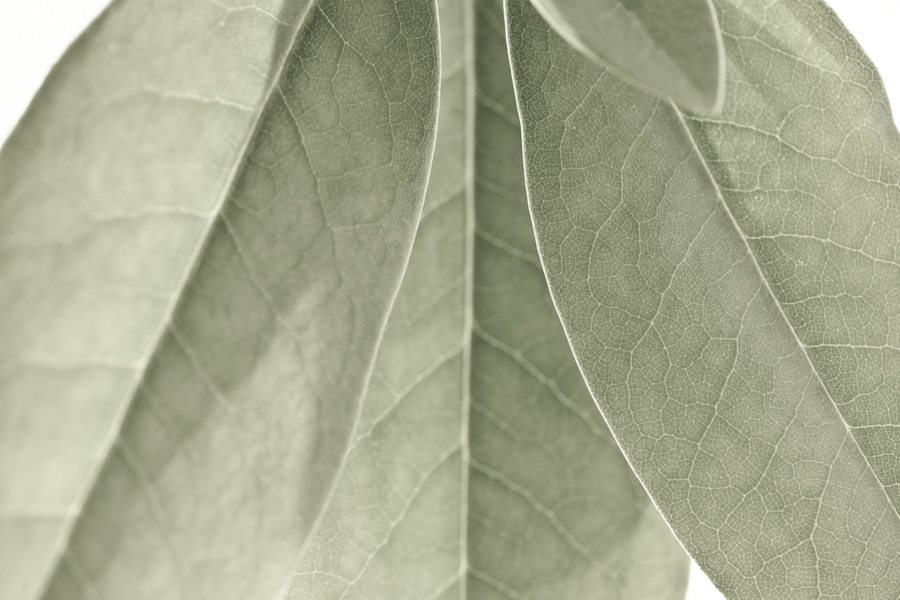 Rhododendron Leaf 7842