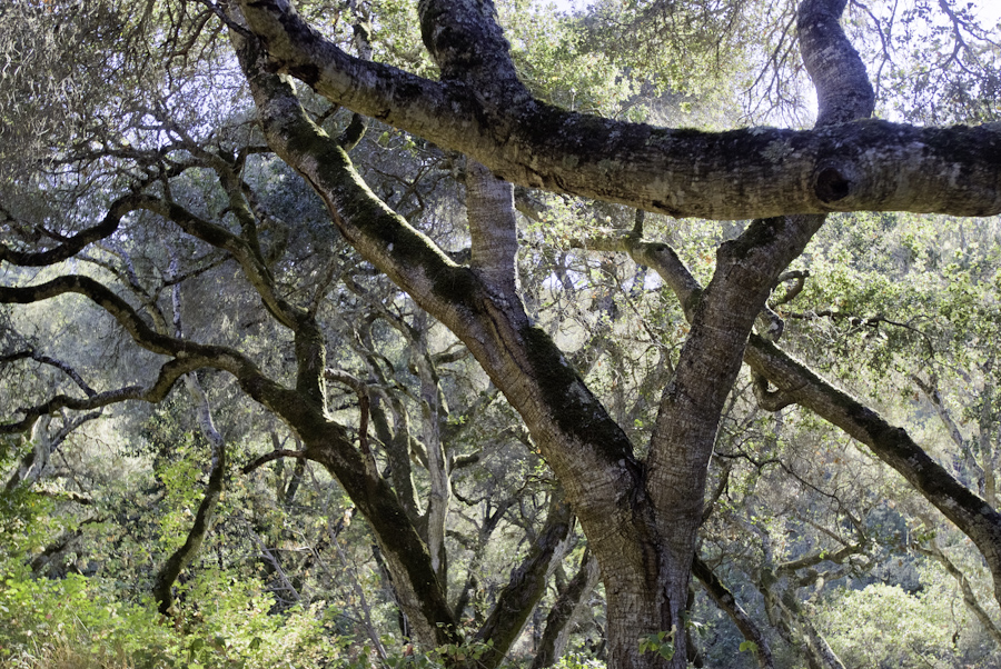 Oak Branches Crossed