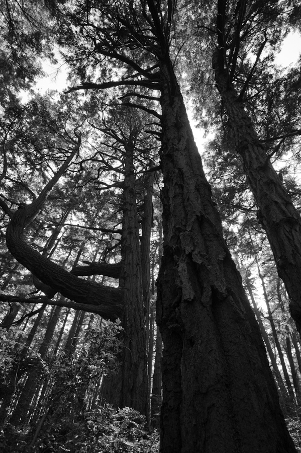 Hornby Island Giant Trees 3653
