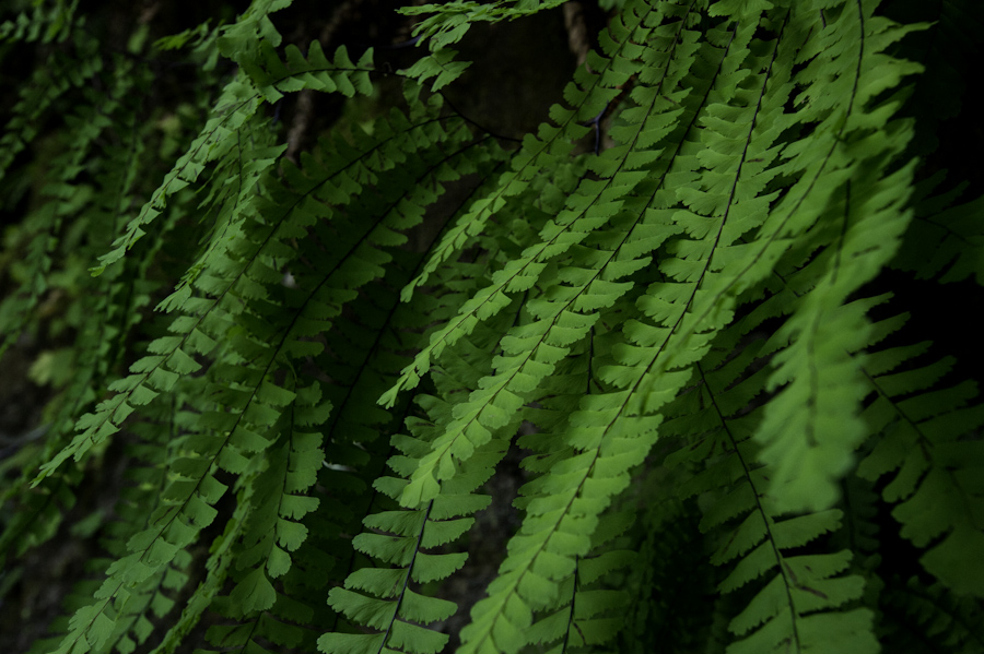 Bamfield Beach Ferns 3917