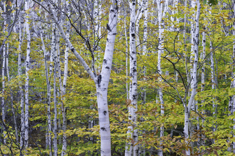 White Birch Forest 9107