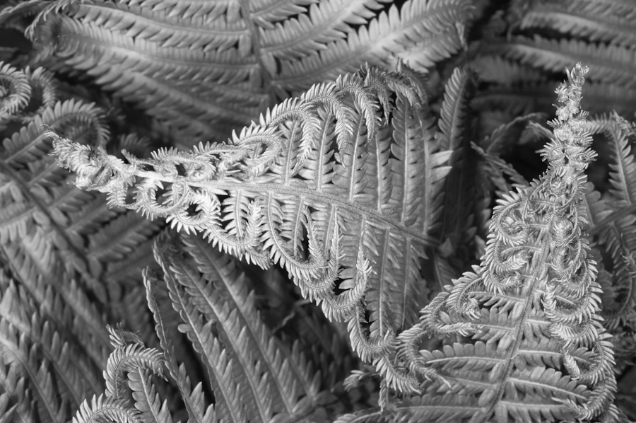 Early Ferns 2792