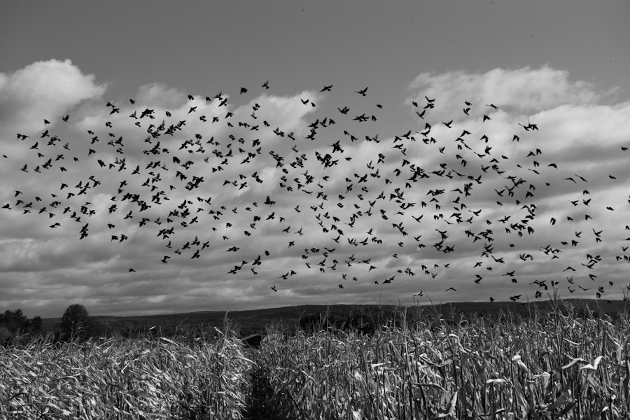 Blackbirds over Corn 0737